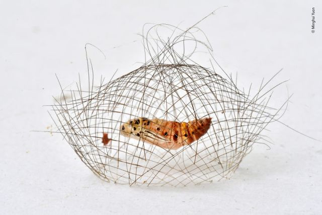 """The Hair-Net Cocoon"" By Minghui Yuan, China, Behaviour: Invertebrates, Highly Commended 2019"