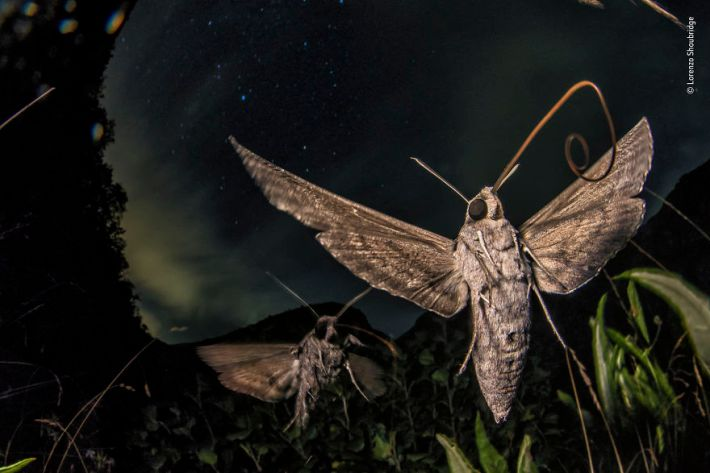 """Migrant Megamoths"" By Lorenzo Shoubridge, Italy, Behaviour: Invertebrates, Highly Commended 2019"