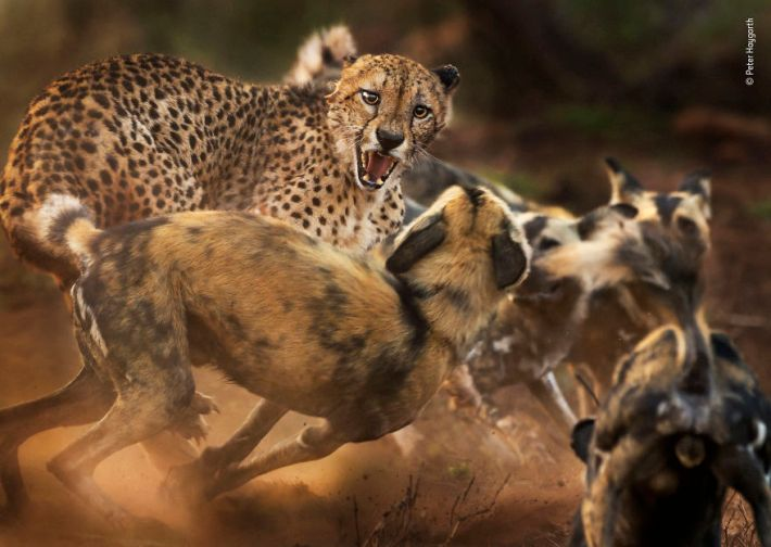 """Big Cat And Dog Spat"" By Peter Haygarth, UK, Behaviour: Mammals, Highly Commended 2019"