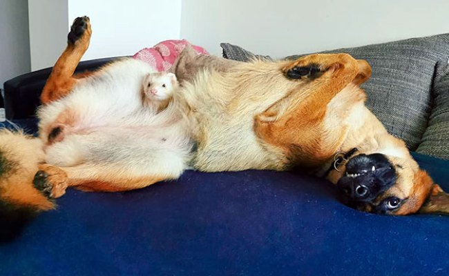 Meet Nova The German Shepherd And Pacco The Ferret That