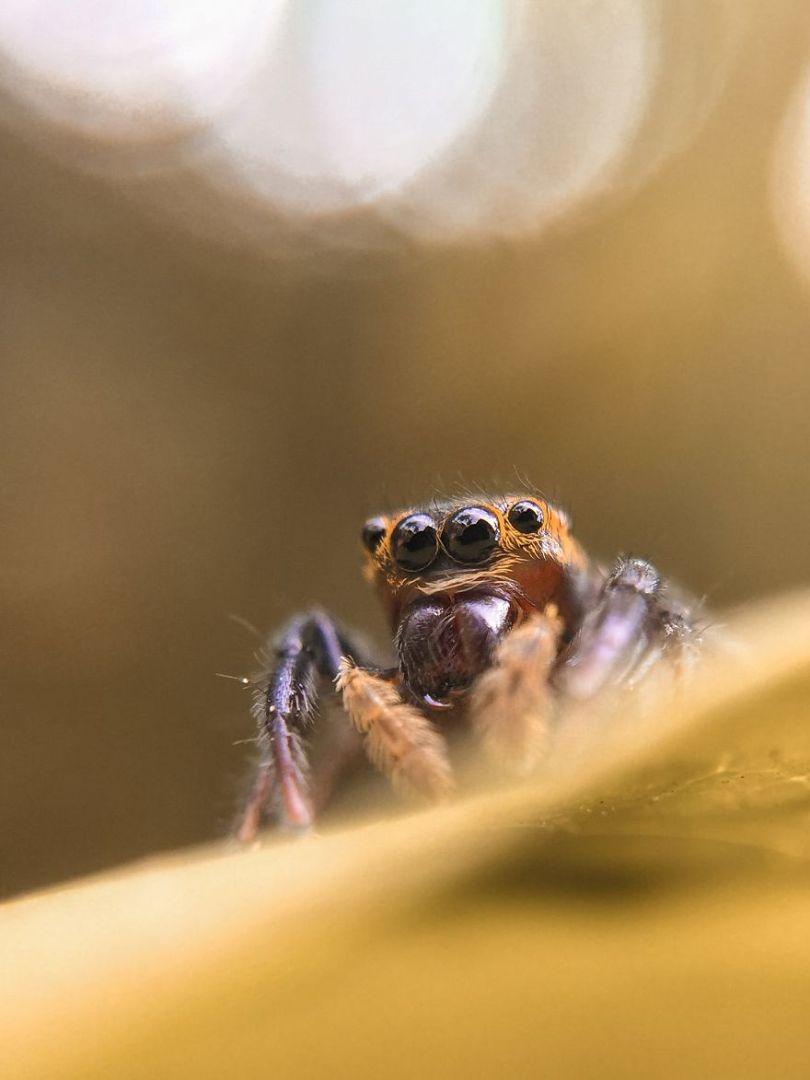Os olhos de uma aranha saltadora