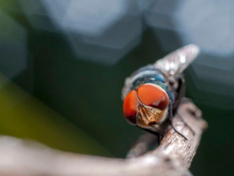 Os olhos da mosca