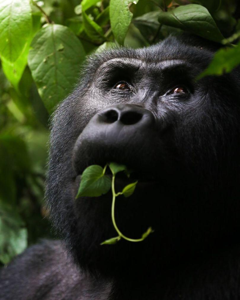 Gorila selvagem