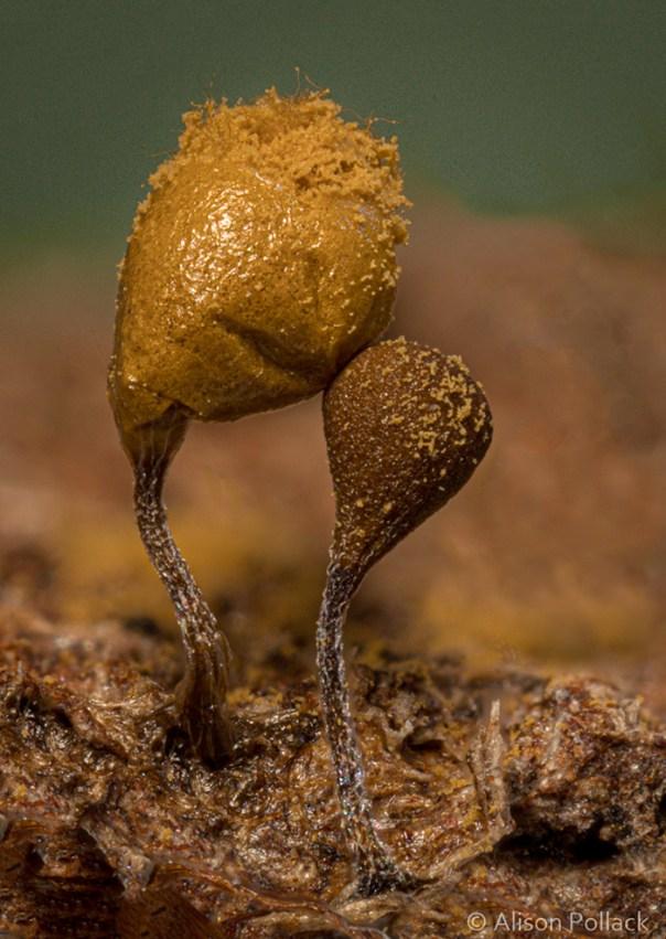 Hemitrichia Calyculata (Point Reyes)