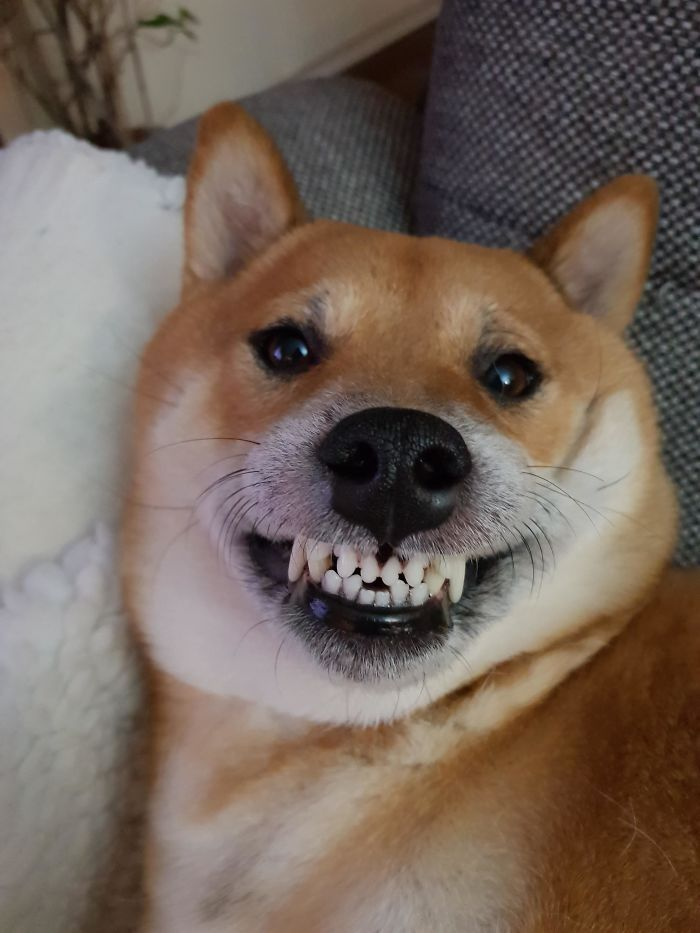 This Online Community Shares The Silliest Dog Photos Where Their Teeth Are Visible In A Funny Way (30 Pics) 29