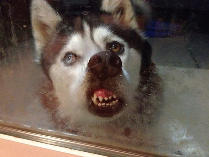 This Online Community Shares The Silliest Dog Photos Where Their Teeth Are Visible In A Funny Way (30 Pics) 15