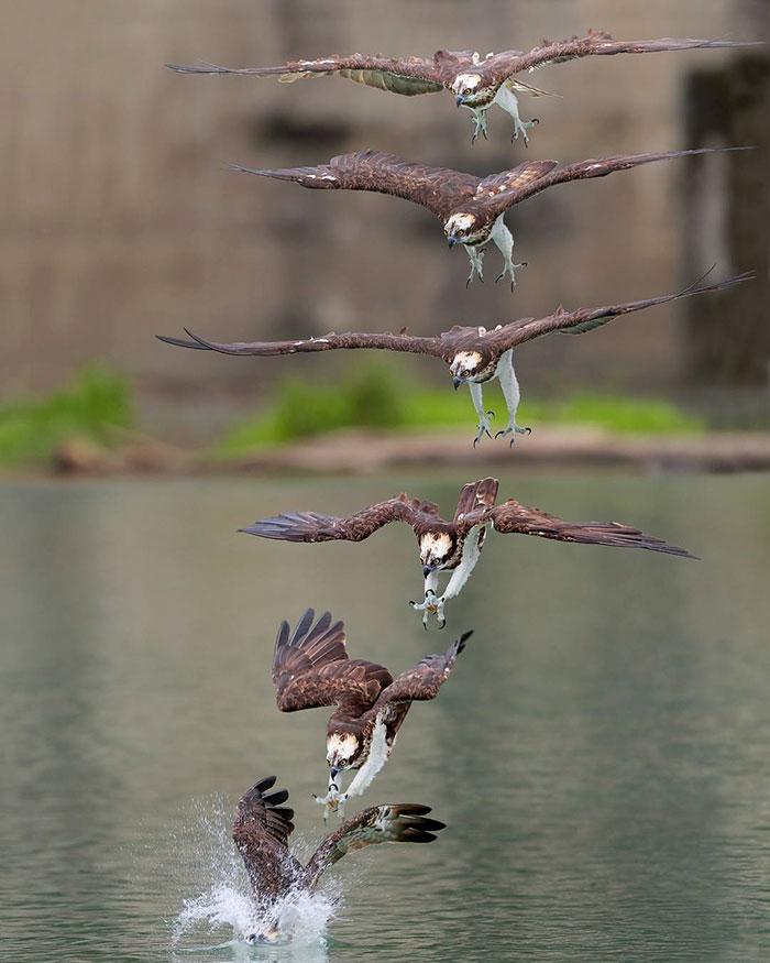 osprey hunt dive photos chen chengguang 10 5e0ef14b5e549  700 - Fotógrafo de Taiwan tira fotos artísticas de pássaros de caça e o resultado é lindo