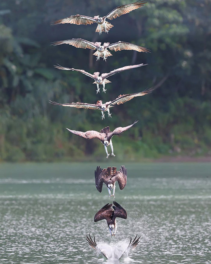 osprey hunt dive photos chen chengguang 12 5e0ef14e8afe8  700 - Fotógrafo de Taiwan tira fotos artísticas de pássaros de caça e o resultado é lindo