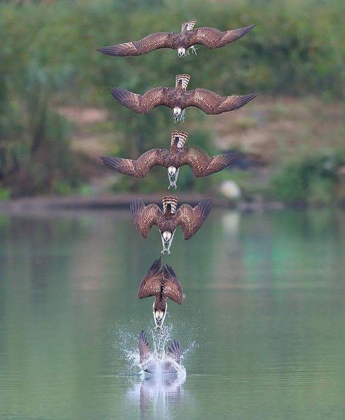 osprey hunt dive photos chen chengguang 13 5e0ef150dc488  700 - Fotógrafo de Taiwan tira fotos artísticas de pássaros de caça e o resultado é lindo
