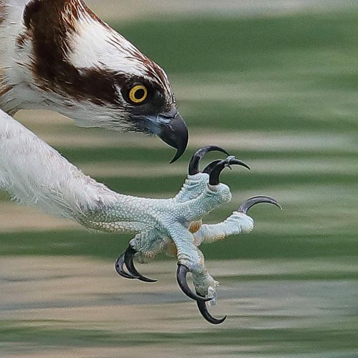 osprey hunt dive photos chen chengguang 16 5e0ef15742614  700 - Fotógrafo de Taiwan tira fotos artísticas de pássaros de caça e o resultado é lindo