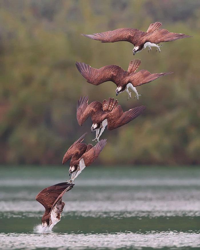 osprey hunt dive photos chen chengguang 17 5e0ef15931838  700 - Fotógrafo de Taiwan tira fotos artísticas de pássaros de caça e o resultado é lindo