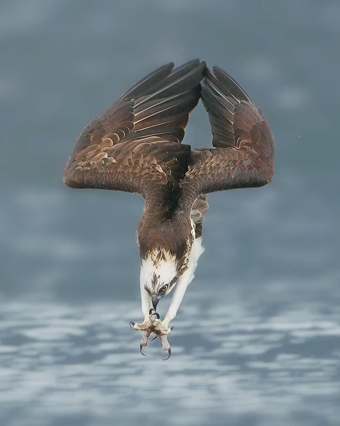 osprey hunt dive photos chen chengguang 3 5e0ef13dc0a21  700 - Fotógrafo de Taiwan tira fotos artísticas de pássaros de caça e o resultado é lindo