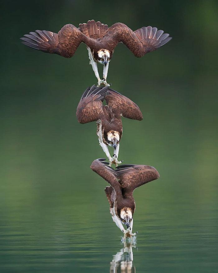 osprey hunt dive photos chen chengguang 4 5e0ef13f95946  700 - Fotógrafo de Taiwan tira fotos artísticas de pássaros de caça e o resultado é lindo