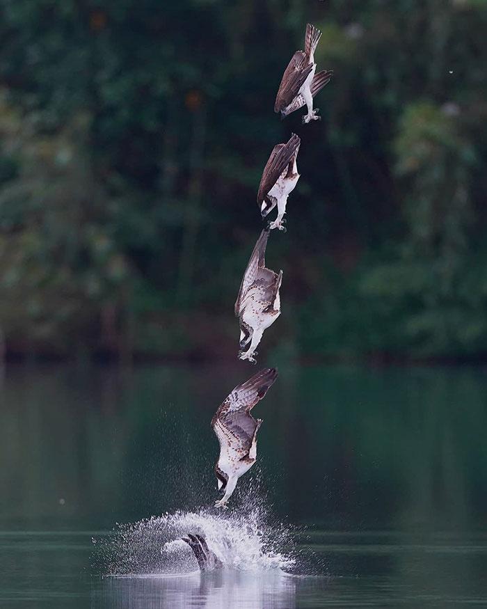 osprey hunt dive photos chen chengguang 5 5e0ef1415d114  700 - Fotógrafo de Taiwan tira fotos artísticas de pássaros de caça e o resultado é lindo