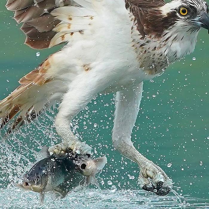 osprey hunt dive photos chen chengguang 7 5e0ef145c5084  700 - Fotógrafo de Taiwan tira fotos artísticas de pássaros de caça e o resultado é lindo
