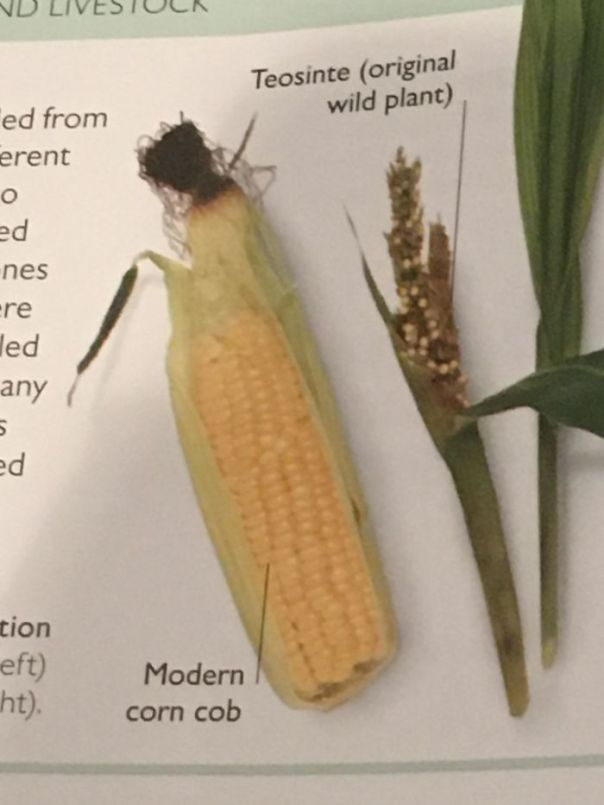 The Difference Between Modern Corn And Corn Before It Was Domesticated