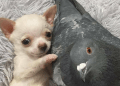 A Flightless Pigeon And A Paralyzed Dog Form An Unlikely Friendship & It's Beyond Adorable