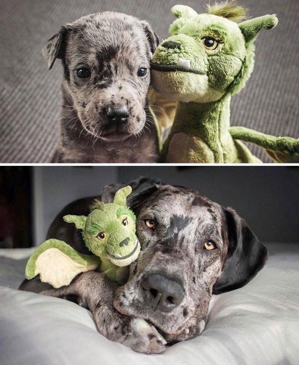 4 Weeks vs. Full Grown, With His Favorite Toy