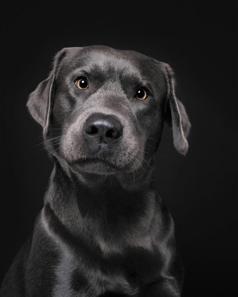 Cooper, O Labrador