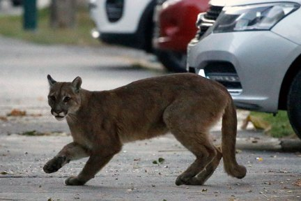 A Wild Puma Was Captured In The Streets Of Santiago, Chile On March 24, 2020