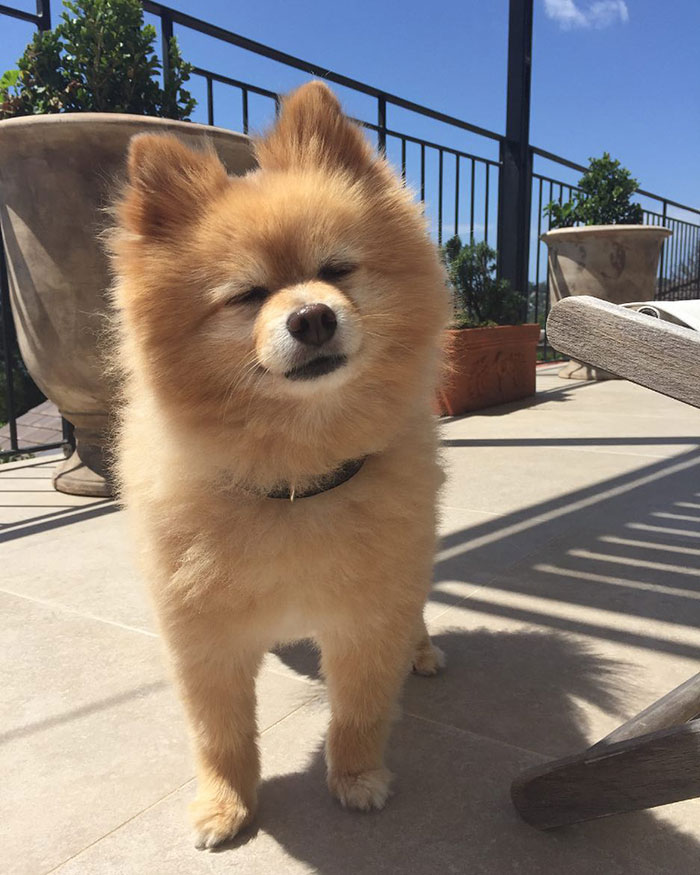 Pomeranian Cuts : pomeranian, Woman, Leaves, Instagram, Followers, Stitches, After, Grooming, Self-Isolation, Bored, Panda