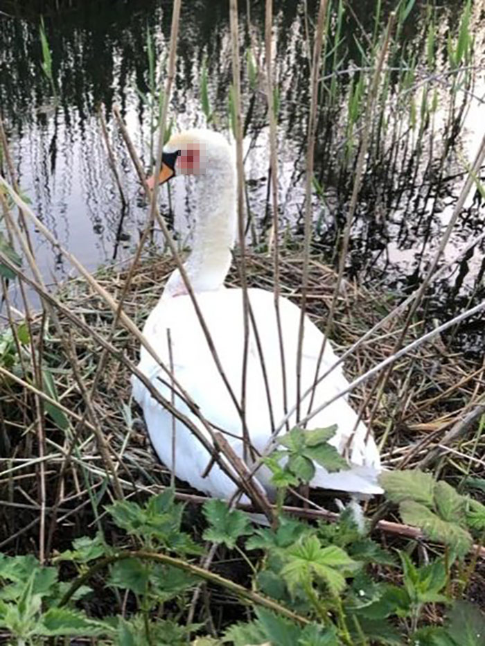 Swan That Was Shot In The Head While Nesting Recovers And Finally Reunites With Her Mate