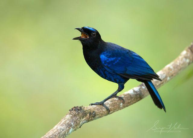 Bluebird de hadas asiáticas
