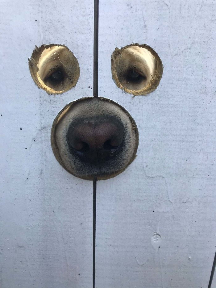 My Friend Made Holes In His Gate So Gus The Labrador Can See And Sniff