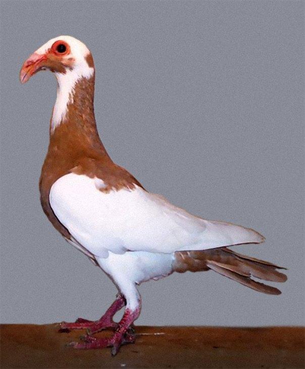 Scandaroon Pigeon