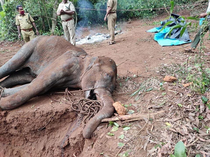 Artists Pay Tribute To The Pregnant Elephant Who Died Due To Someone Stuffing A Pineapple With Fireworks