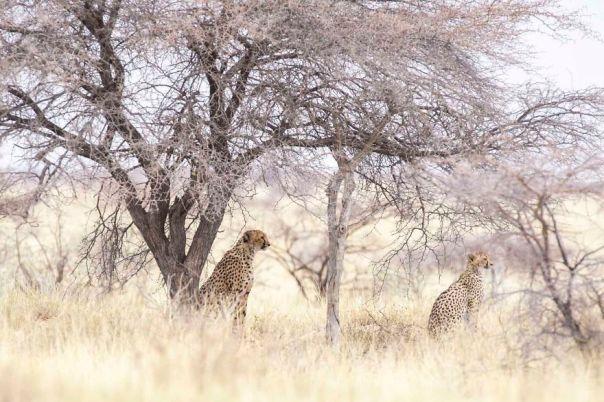 Cheetah Mum And Baby