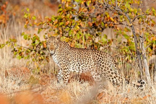 Leopard In Autumn
