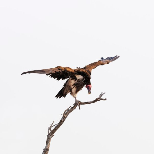 Lappet-Faced Vulture, Botswana