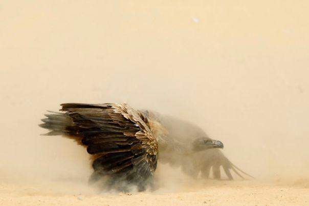 White-Backed Vulture, Kalahari