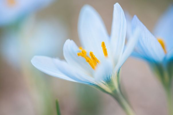 A Rare Variety Of Blue Crocus From Turkey