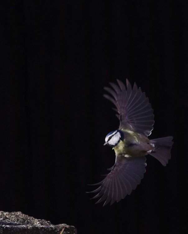 Blue Tit Coming In To Land