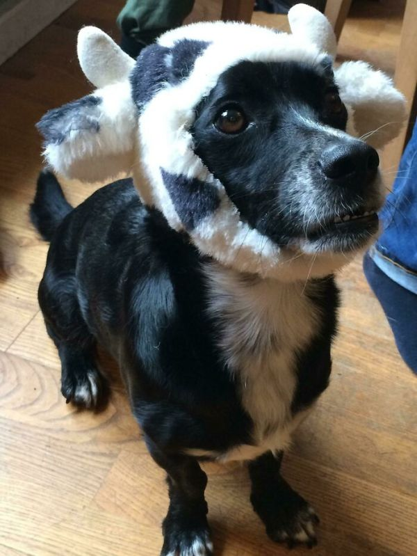 My Dog Made Himself A Perfect Costume By Destroying His Stuffed Cow