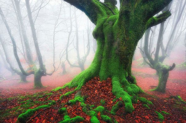 This Forest With Trees Covered In Green Moss Right After All Of The Colorful Leaves Fell To The Ground In Basque Country