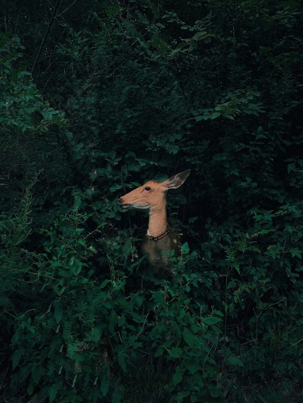 Nature & Wildlife, 1st Place: Jian Cui, Deer Hidden In The Forest