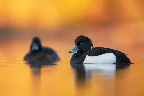 Tufted Duck By Brad James