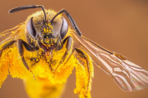Pollen Covered Bee
