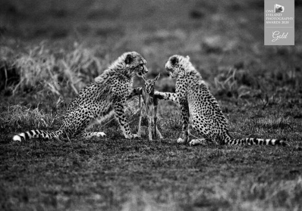 The First Lesson Of Killing, Kenya 1998 By Tomasz Gudzowaty. Gold In Nature