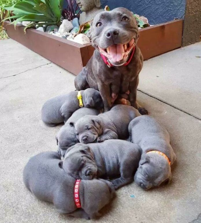 This Proud Pibble Mama And Her Sweet Pups Made My Day