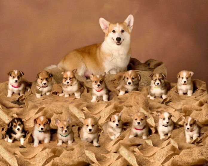 Proud Corgi Mother With Her Litter Of 15 Puppers