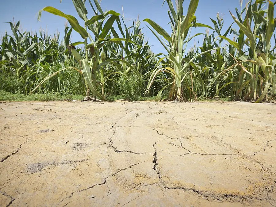 But crops are showing signs of stress and the cracked ground at the edge of an irrigated field in Arkansas shows just how hot the region is