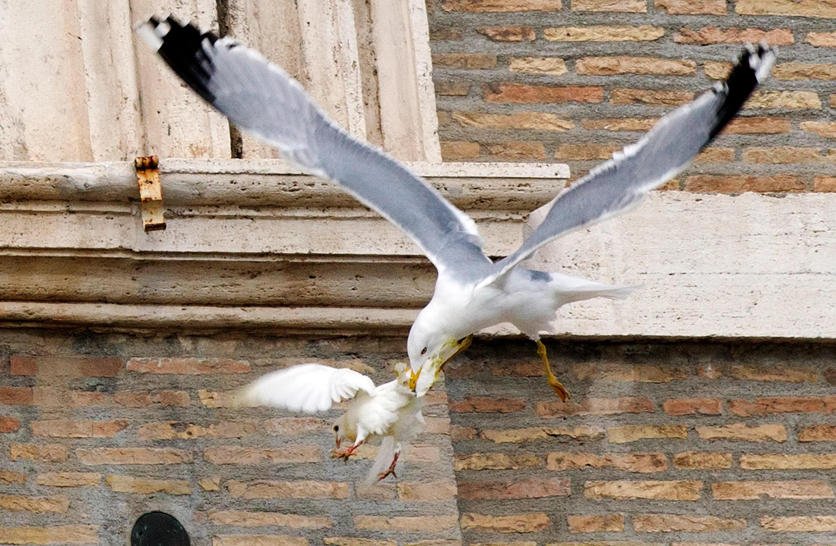 seagull attacks dove