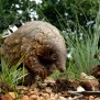 Everything We Know About The Pangolin The Scaly Mammal