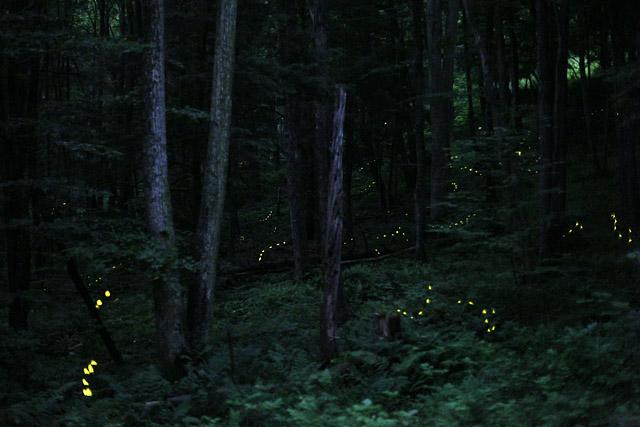 Photinus_Carolinus_Fireflies.jpg