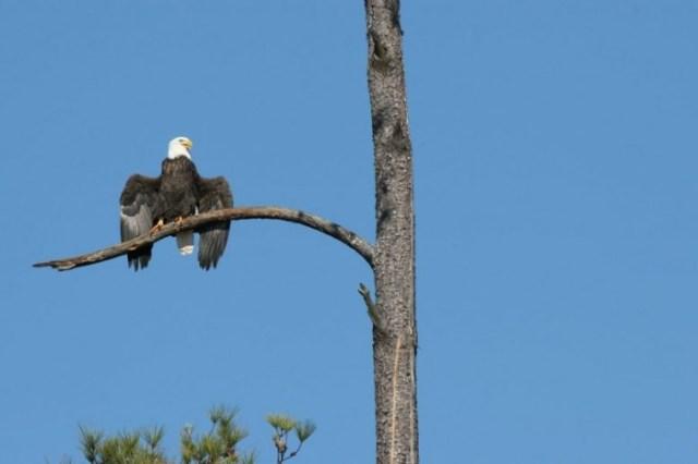 Bald-Eagle-Drooped-Wings-777x518.jpg