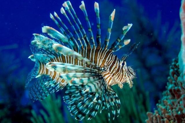 Invasive-Lionfish-in-Belize-777x516.jpg